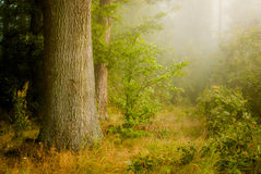Mist forest Royalty Free Stock Photography