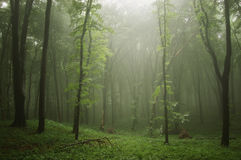 Mist in a green forest. And light Stock Photography