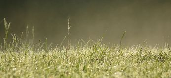 Mist and green grass. Tall grass covered in dew with the morning mist royalty free stock image