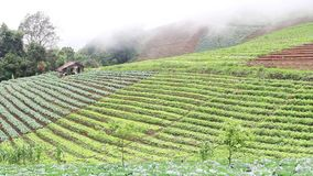 Mist over field of cabbages,  Thailand. Royalty Free Stock Image