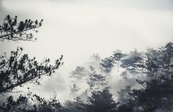 In the mist. A pine forest in an early morning at Dalat, Vietnam Stock Photos