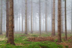 Mist in a pine forest Stock Photography