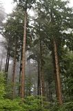 Mist through pine trees. Fine mist filtering through a dense forest of pine trees; Freiburg, Germany royalty free stock photos