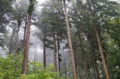 Mist through pine trees Stock Photo