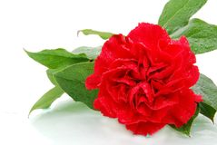 Mist red. A red carnation with mist Stock Photography