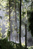 Mist rising in Cathedral Grove Royalty Free Stock Photography