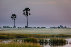 Mist settles over grasslands and two tall  trees Africa Royalty Free Stock Image
