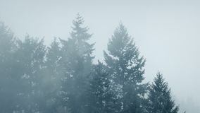 Mist Shrouds Large Forest Trees. Tall trees in cold weather with mist moving across them stock video footage