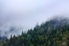 Mist and snow crawl up the side of the mountain as the afternoon progresses, hiding the tops of the giant sequoias royalty free stock images