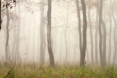Mist through the trees. Beautiful forest view in fall season Stock Photos