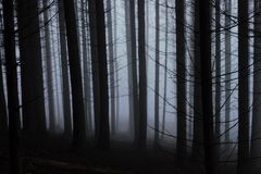 Mist in a coniferous forest royalty free stock images