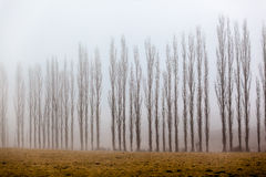Mist Vertical Trees Line Stock Image