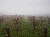 Mist vineyard in a cold morning Royalty Free Stock Images