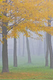 Mist and yellow tree foliage in autumn. In the forest Stock Images