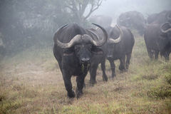 Mistbuffels Royalty-vrije Stock Foto's