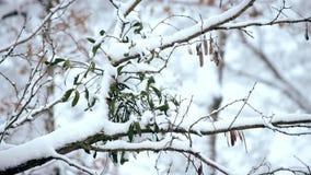 Mistel i snö på trädfilial i skog stock video