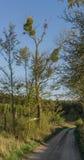 Mistel på en trädfilial Royaltyfria Foton