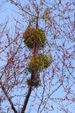 Mistel på ett träd Arkivbild