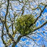 Mistel som fästas till ett träd Arkivfoto