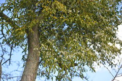 Mistel som växer på filialen av ett träd Arkivbild