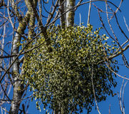 Misteltoe ball. In the tree a large hanging mistletoe ball Stock Photography