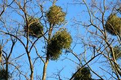 Misteltoes in een boom Royalty-vrije Stock Afbeeldingen