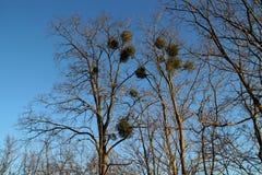 Misteltoes in een boom Stock Fotografie
