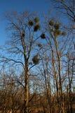 Misteltoes in un albero Immagini Stock Libere da Diritti