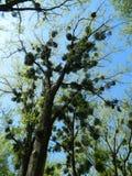 Mistelzweig-Baum Stockbilder