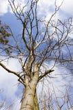 Mistelzweig, der auf den Niederlassungen eines Baums wächst Lizenzfreie Stockfotos