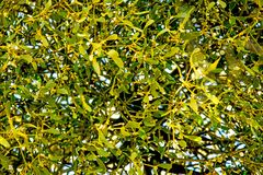 Mistelzweig in einem Obstbaum in der Winterzeit Lizenzfreies Stockbild
