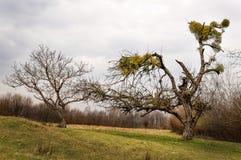 Mistelzweig geplagter Baum Lizenzfreie Stockbilder