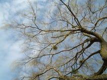 Mistelzweig im bloßen Baum Stockbild