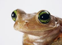 Mister frog. Royalty Free Stock Photos