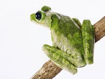 Mister frog. Stock Photos