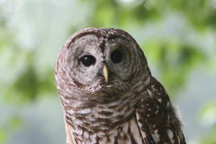Mister Owl. Owl staring at you Royalty Free Stock Image