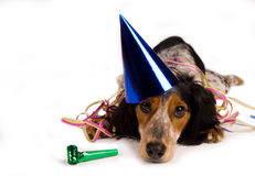 Mister party dog. Maybe had a little bit too much partying Stock Image