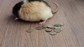 Mister Rat counting the cash. Black and white funny rat sits on coins and wash his muzzle stock video footage