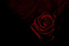 Misterioso rojo subió Imagen de archivo libre de regalías