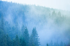 Misterious forest. Misterious winter forest with pines at the fog Stock Images
