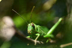 Misterious Green Cricket 1 Stock Image