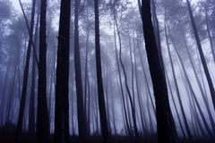 Misterious pine woods Royalty Free Stock Image