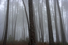 Misterious pine woods Stock Photography