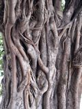 Misterious tree. With interesting bark, summer 2011, Delhi, India Royalty Free Stock Images