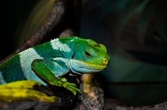 Mistero di colore del camaleonte Fotografia Stock Libera da Diritti