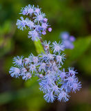 Mistflower Stock Image