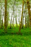 Mistig Groen Forest Olympic National Park stock foto's