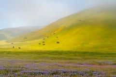 Mistige Landelijke Ochtendsc?ne met Vee, Mooie Heuvels met Bloesembloemen royalty-vrije stock fotografie