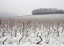 Mistige ochtend in wijngaard Stock Afbeelding