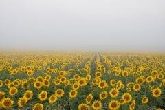 Mistige zonnebloemen Stock Foto's